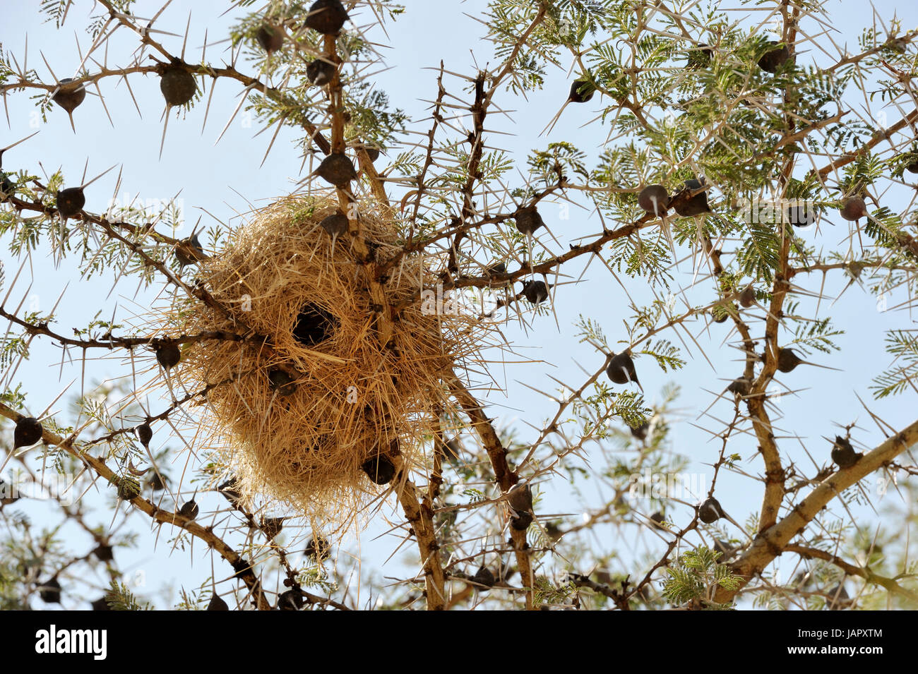 Whistling thorn acacia (Acacia drepanolobium) close up with wevers birdnest, typical for the western corridor and - Stock Image