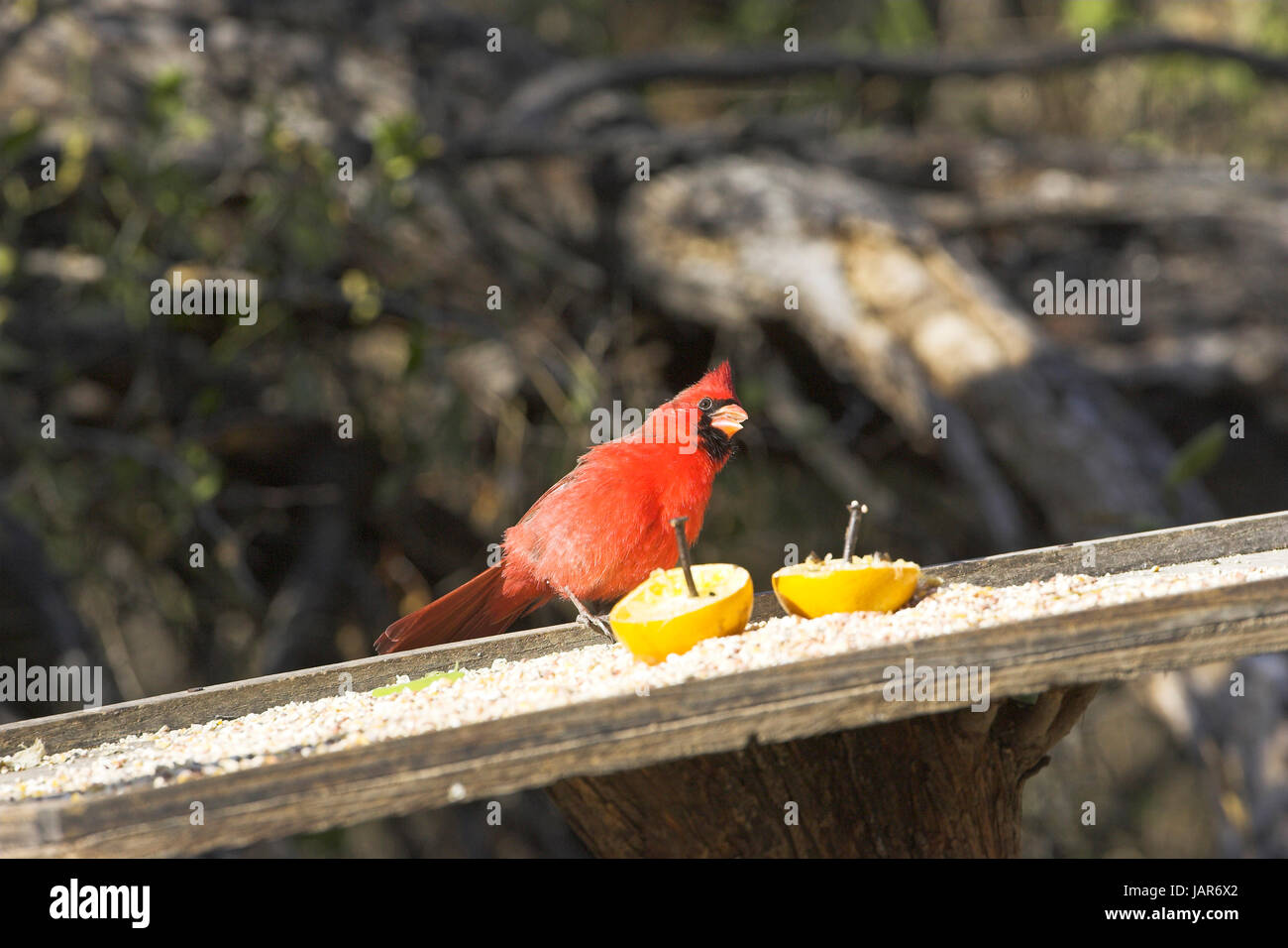 Northern Cardinal Cardinalis Cardinalis At Bird Table Feeder Salineno Lower Rio  Grande Valley Texas USA
