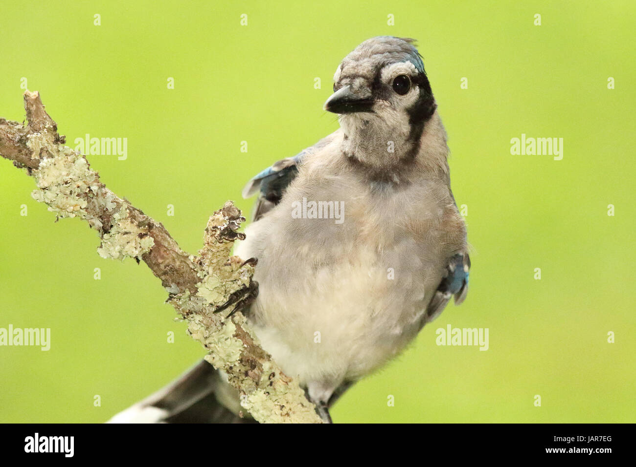 A portrait of a Blue Jay looking for food. Stock Photo