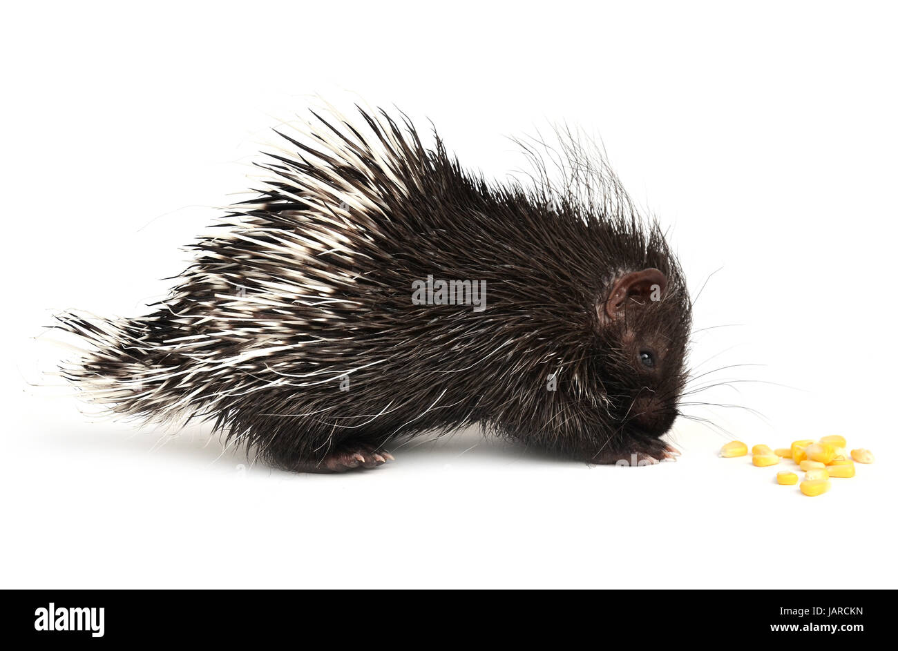 baby porcupine isolated on white background - Stock Image