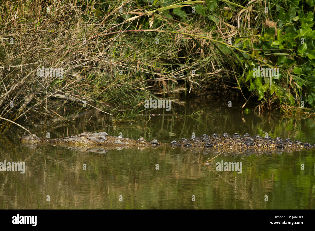 A Salt-water crocodile at crocodile breeding centre in the Sunderbans. It was established in Koromjol area of Mongla - Stock Image