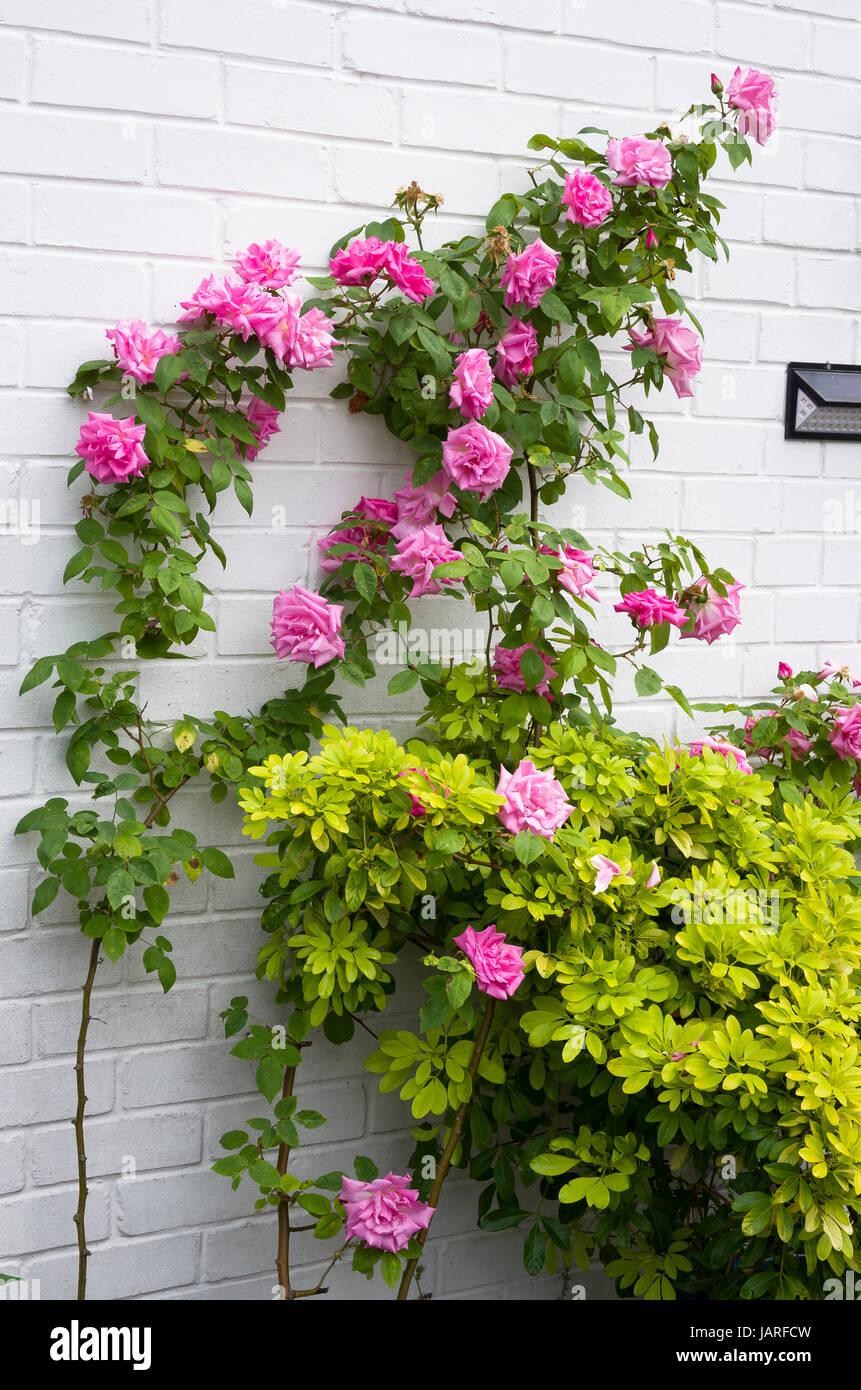 Zephirine Drouhin Climbing Rose zephirine drouhin rose high resolution stock photography and