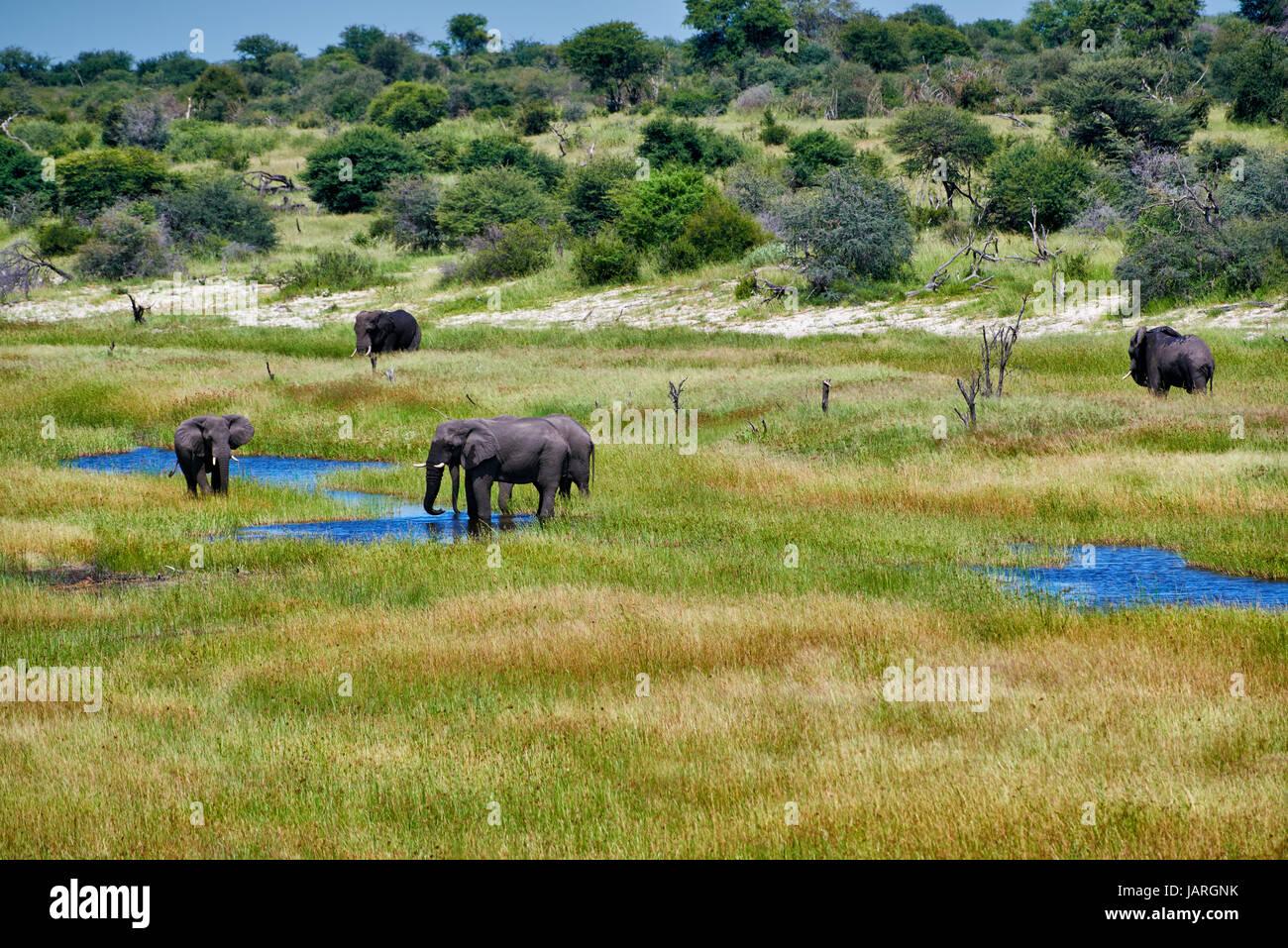 herd of African bush elephants, Boteti River, Makgadikgadi-Pans-National Park, Botswana, Africa - Stock Image
