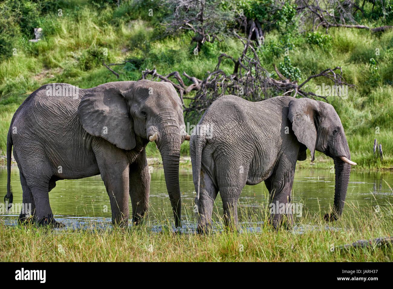 African bush elephant drinking at Boteti River, Makgadikgadi-Pans-National Park, Botswana, Africa Stock Photo