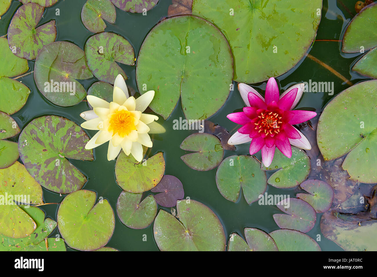 White lily pad flower stock photos white lily pad flower stock top view of two yellow and pink nymphaea lily pad flowers stock image izmirmasajfo
