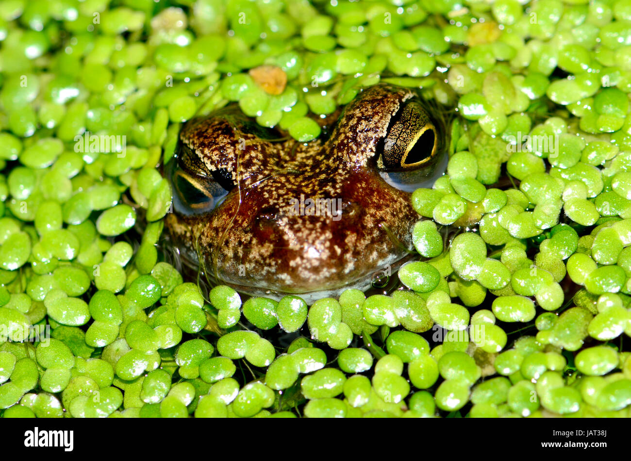 Common Frog (Rana temporaria) in garden pond, covered with lesser duck weed (lemna minor) - Stock Image