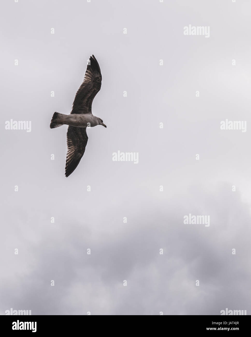 Seagull in flight above the Atlantic Ocean, Madeira gulls, Portugal - Stock Image