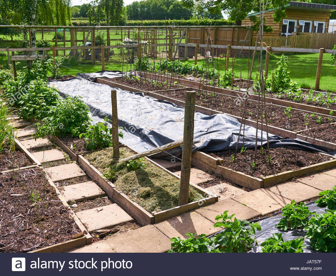 Black plastic weed supressor on raised beds and vegetable plot in a garden allotment uk - Stock Image