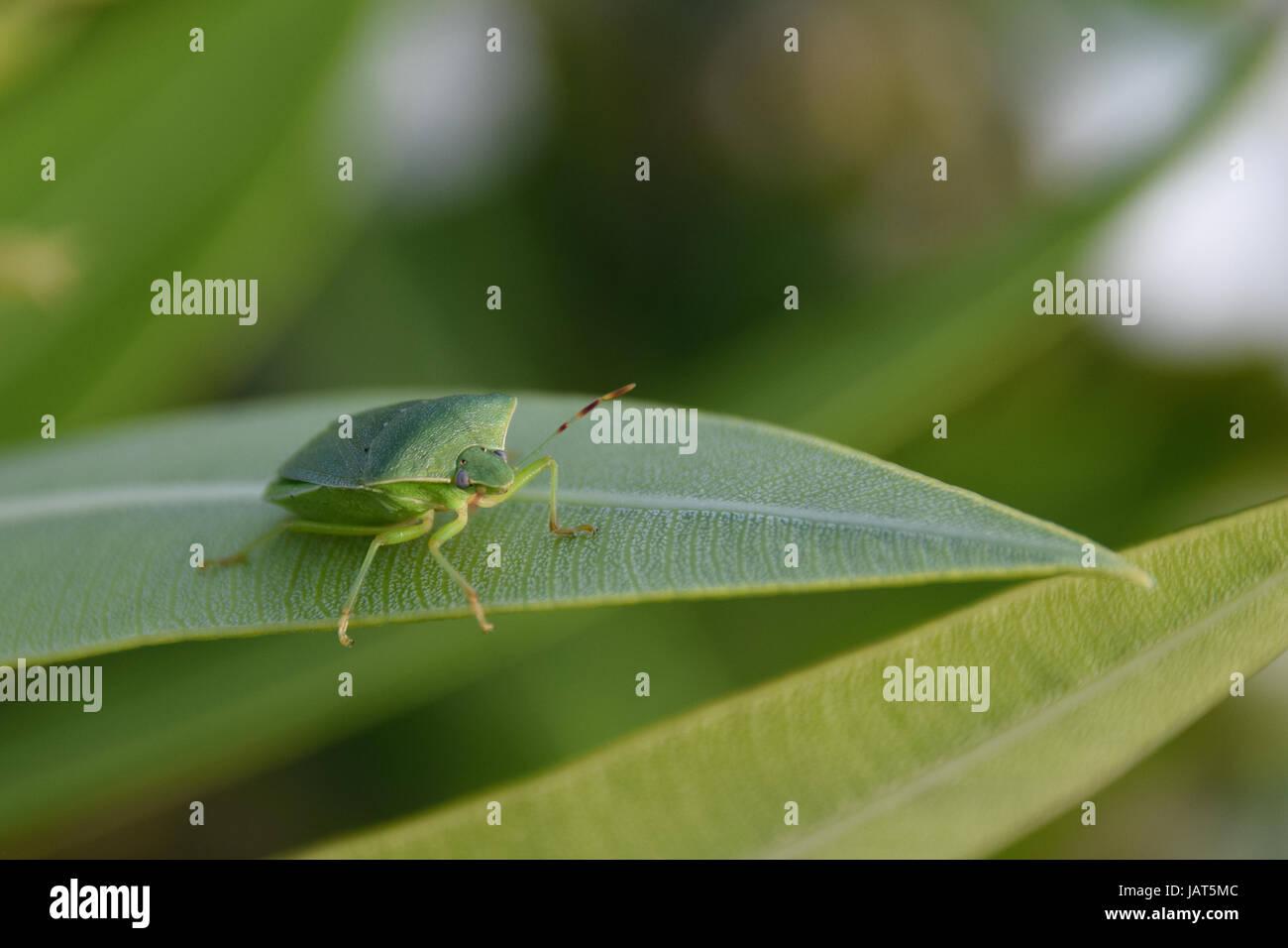 Green shield bug (Palomena prasina) adult on a leaf in Porto Santo, Portugal - Stock Image