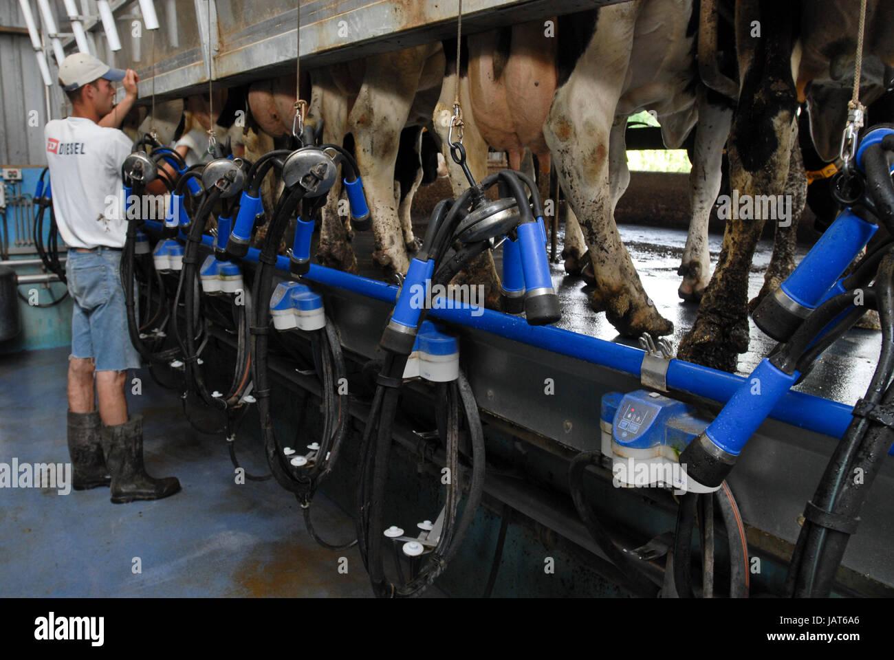 HOLLAND NETHERLAND milk cow farm, milking / Niederlande Milchviehbetrieb, Melkstand Stock Photo