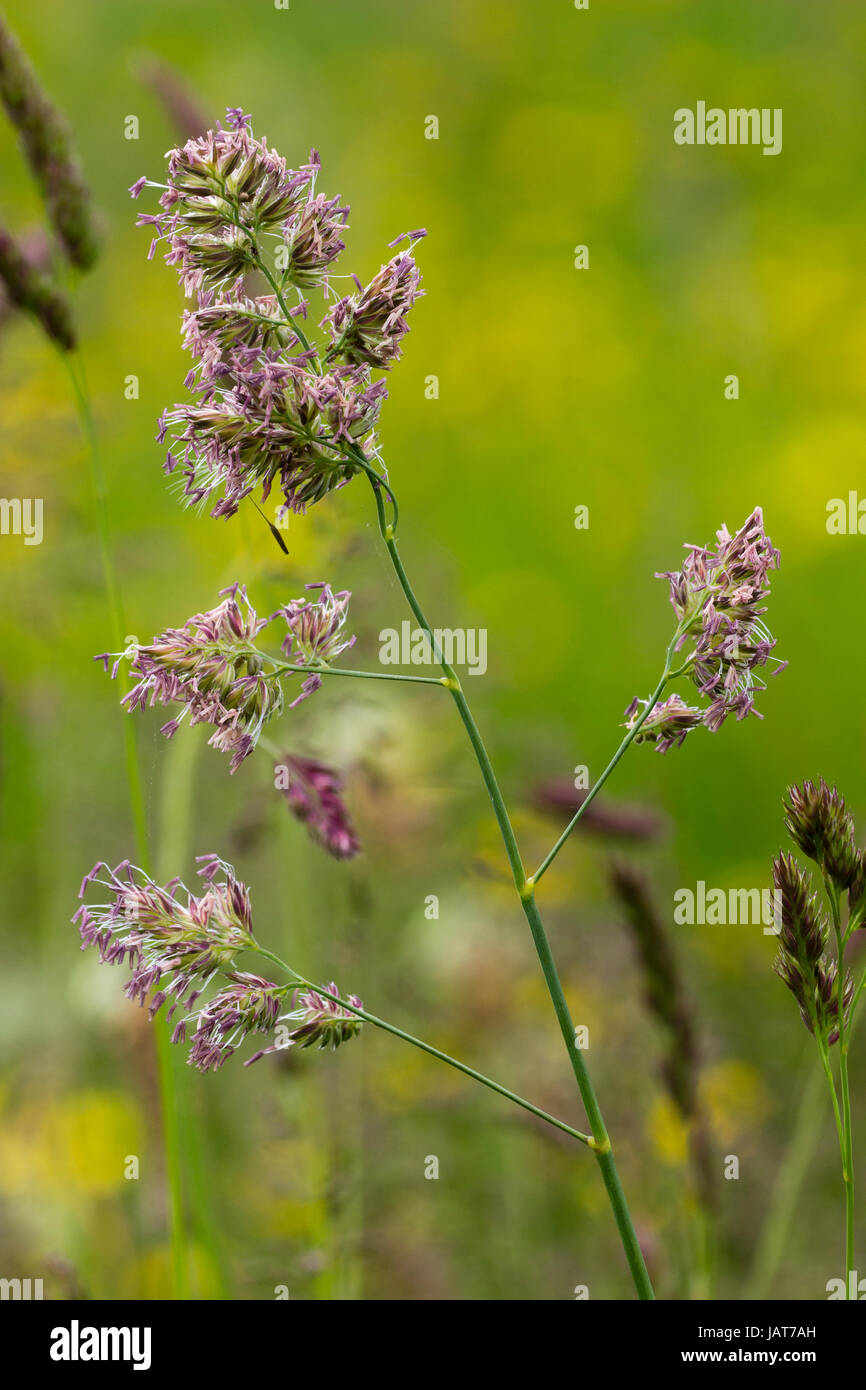 Mature flowering spike of Yorkshire fog, Holcus lanatus, in a June UK meadow Stock Photo