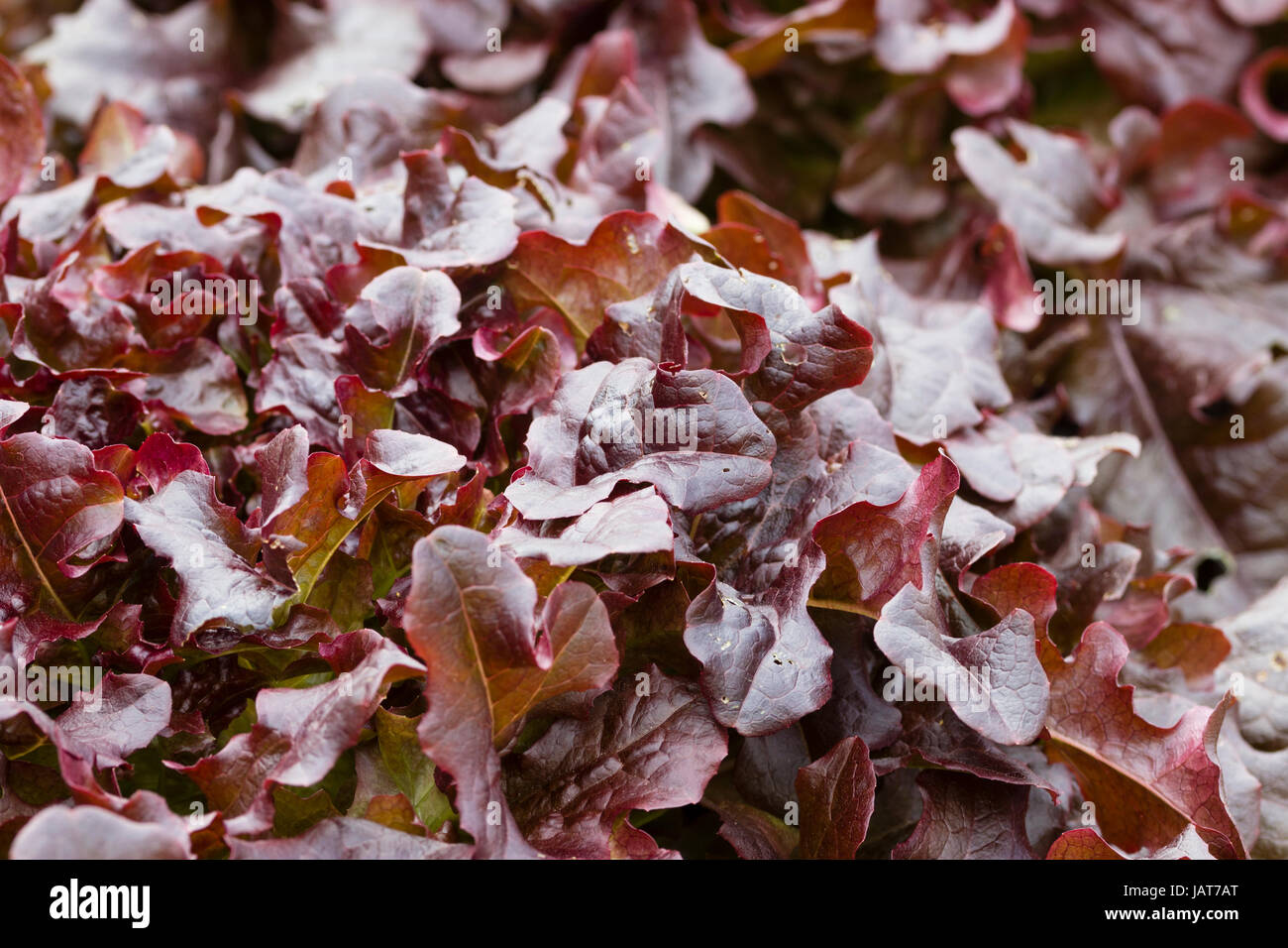 Bronzed red leaves of the popular loosehead type lettuce, 'Red Salad Bowl' - Stock Image