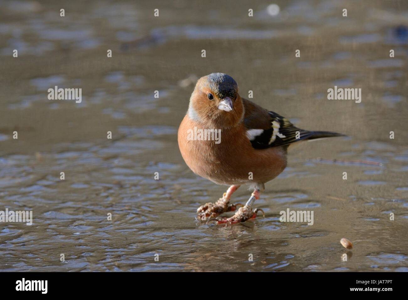 Male Chaffinch (Fringilla coelebs) standing on ice with 'bumblefoot' or 'scaly leg' warty outgrowths - Stock Image