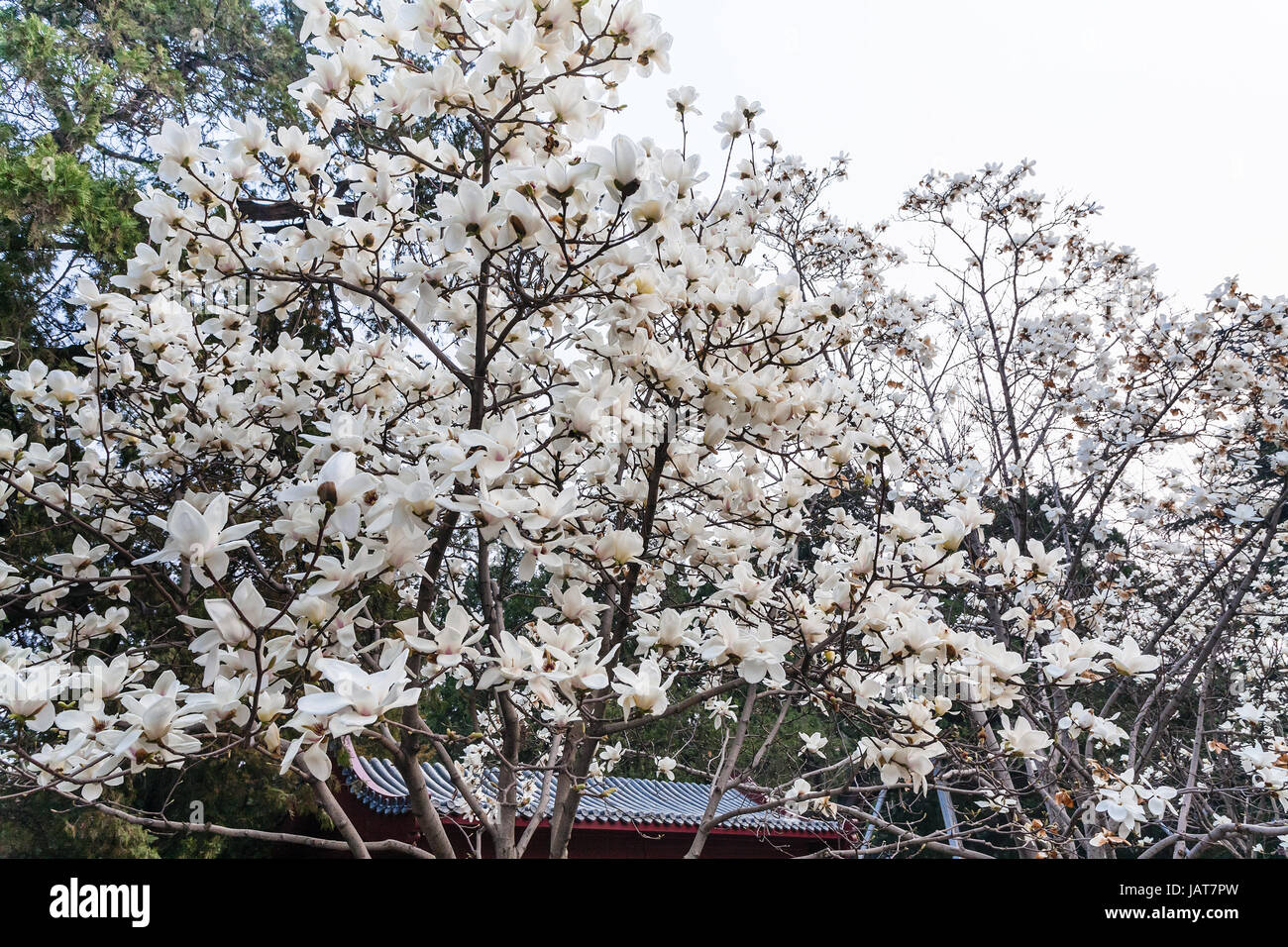 Travel to china white flowers on magnolia trees in imperial stock travel to china white flowers on magnolia trees in imperial ancestral hall public park in beijing imperial city in spring season mightylinksfo