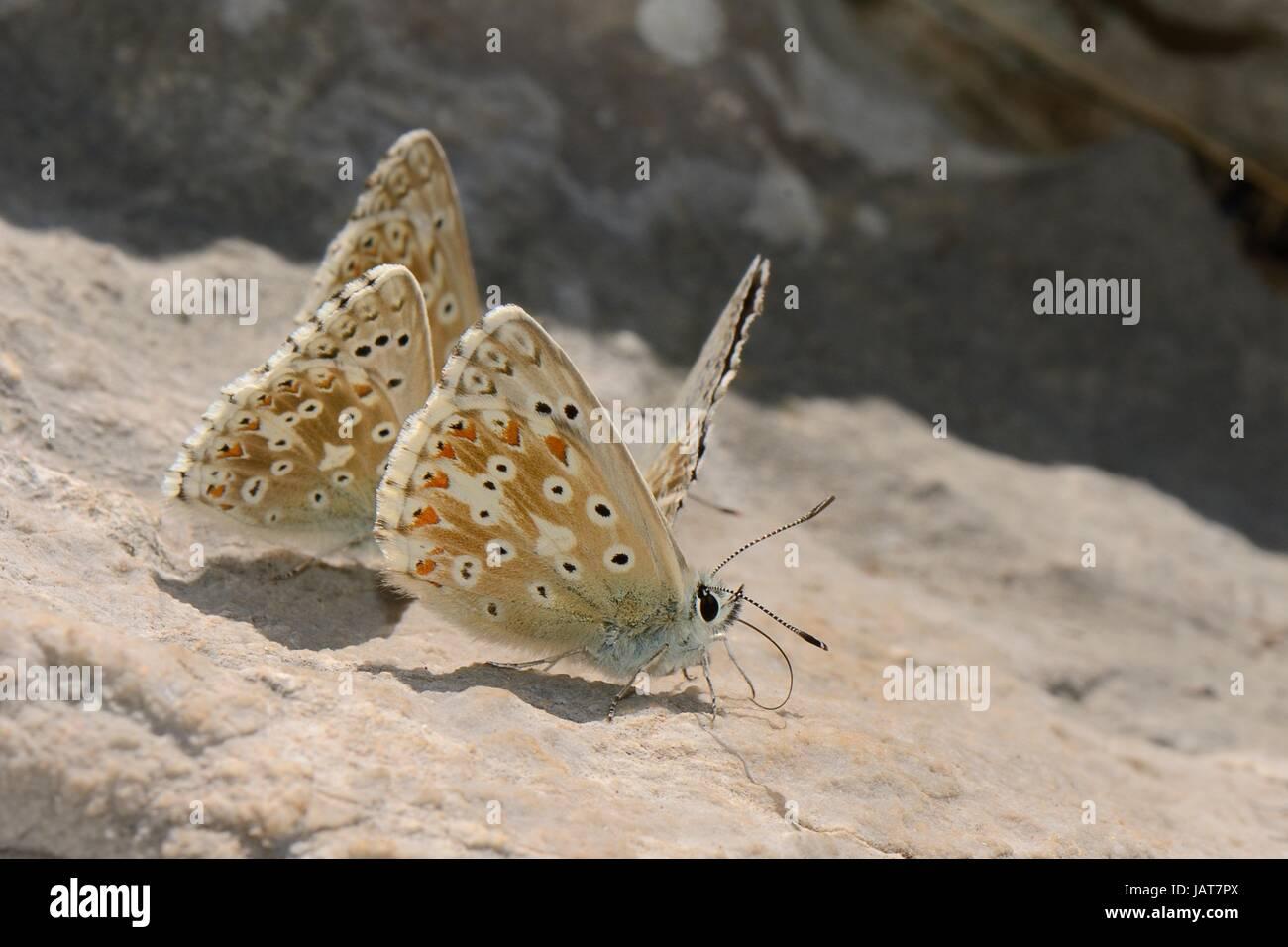 Group of male Chalkhill blue butterflies (Polyommatus coridon) gathering salts from a rock, Picos de Europa mountains, - Stock Image