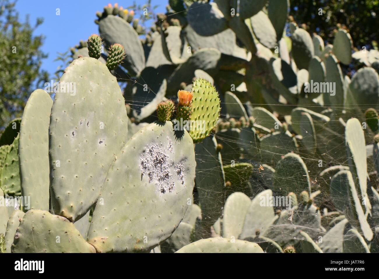 Cochineal insect (Dactylopius coccus), colony of scale insects on Prickly pear cactus / Barbary fig, Gran Canaria, - Stock Image