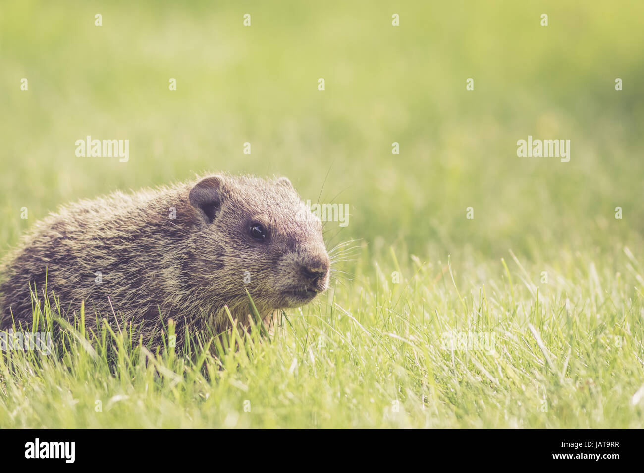 Baby Groundhogs (Marmota Monax) playing and nudging and sharing in the fresh green grass - Stock Image