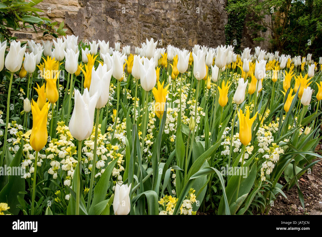 A bed of bright yellow and white tulips in full bloom - Stock Image
