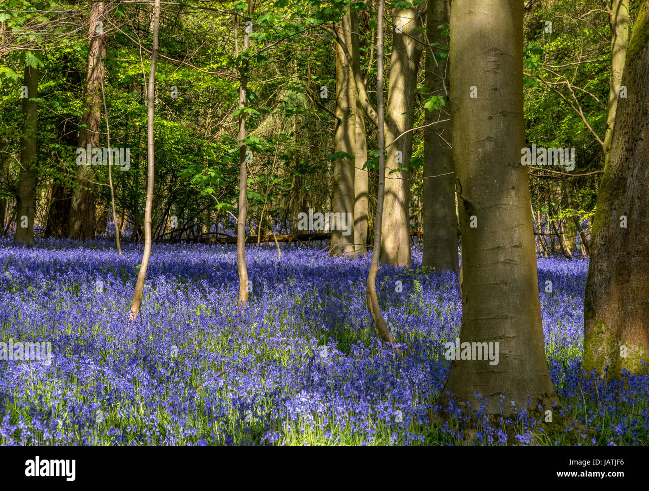 Bluebell wood in full bloom on a sunny spring day Stock Photo