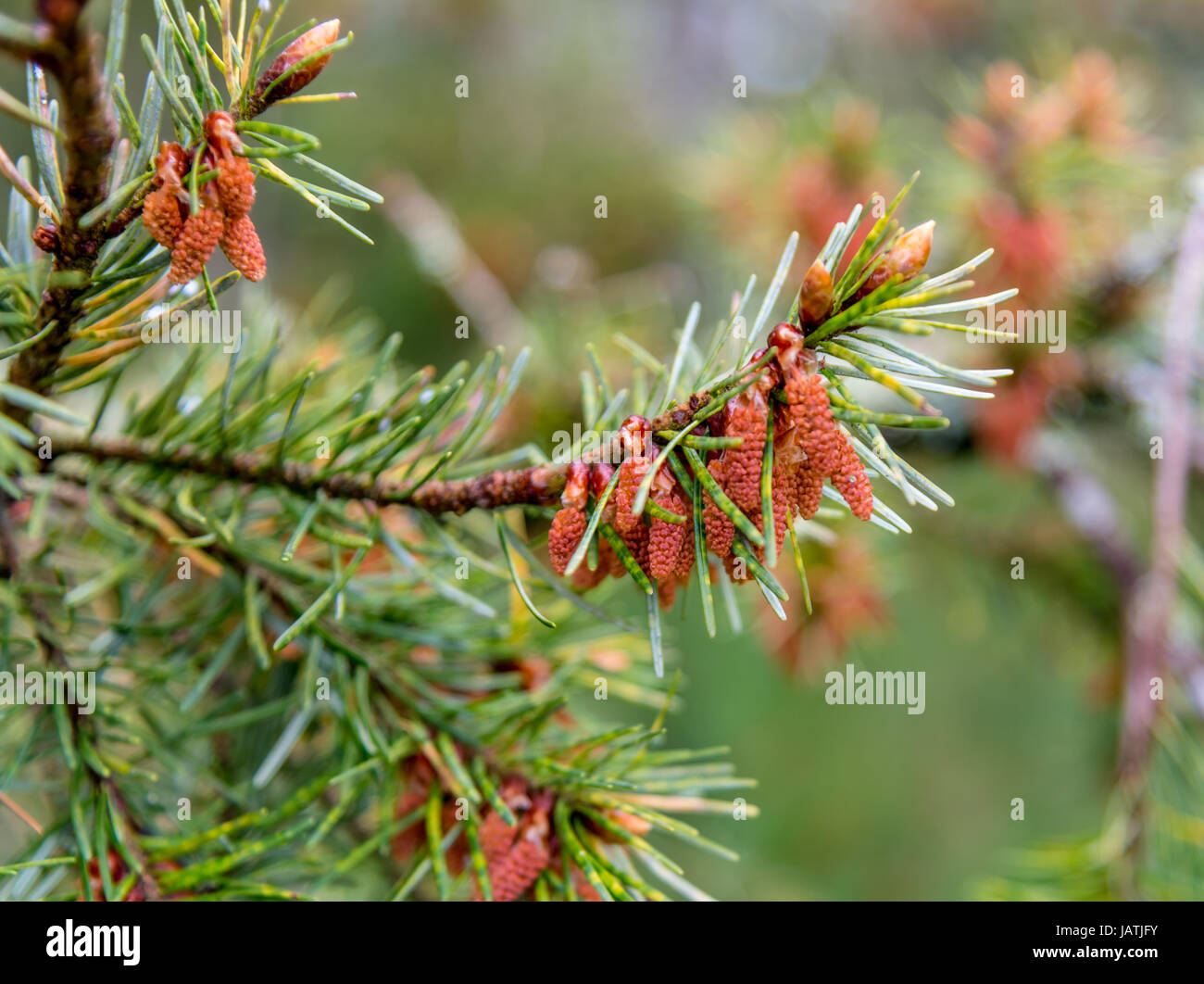 Pine branch with needles and flowers/developing pine cones - Stock Image