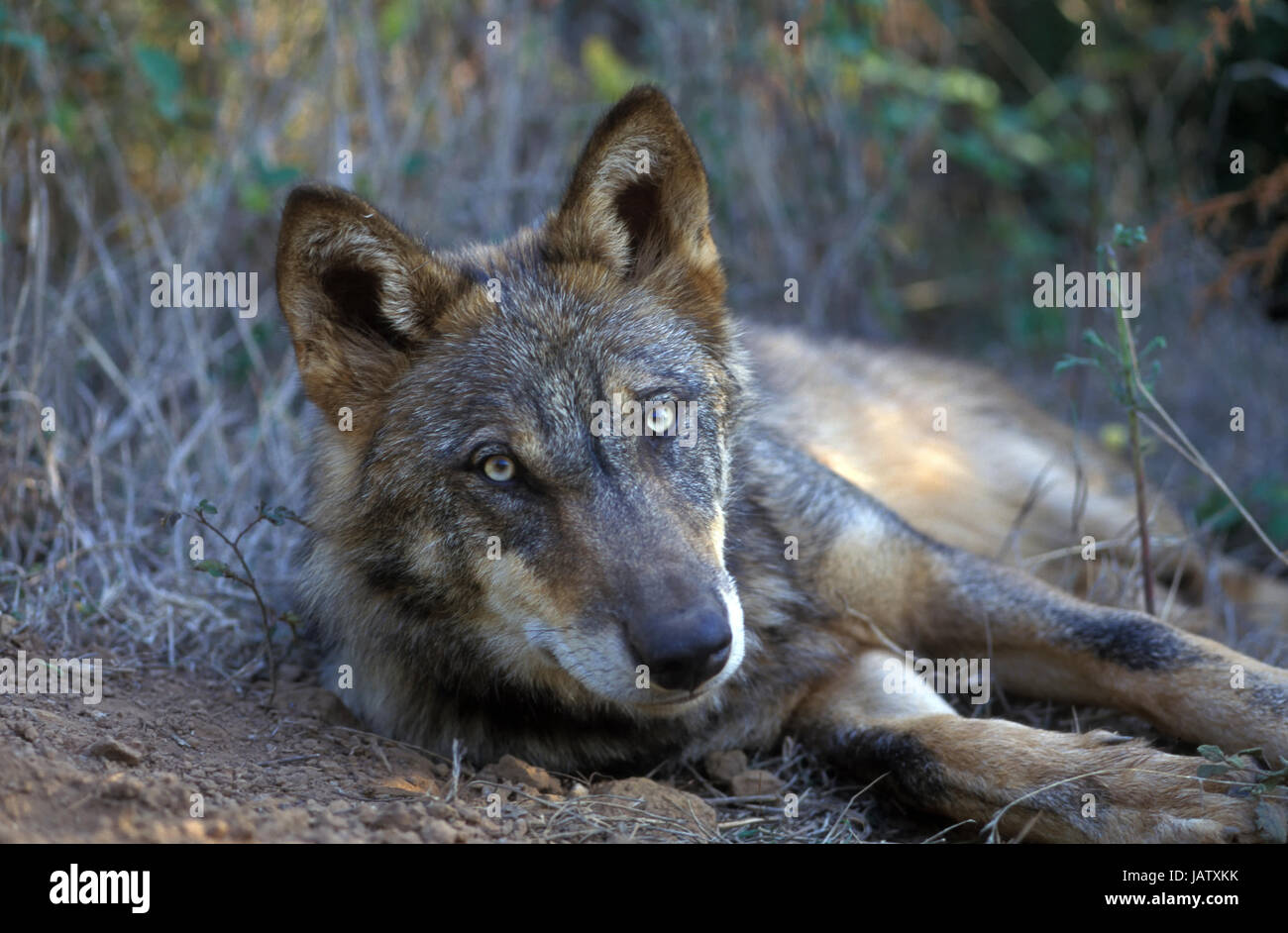 Iberian wolf (Canis lupus signatus). Iberian wolf it's an emblematic species of the Iberian fauna. Defecating. - Stock Image