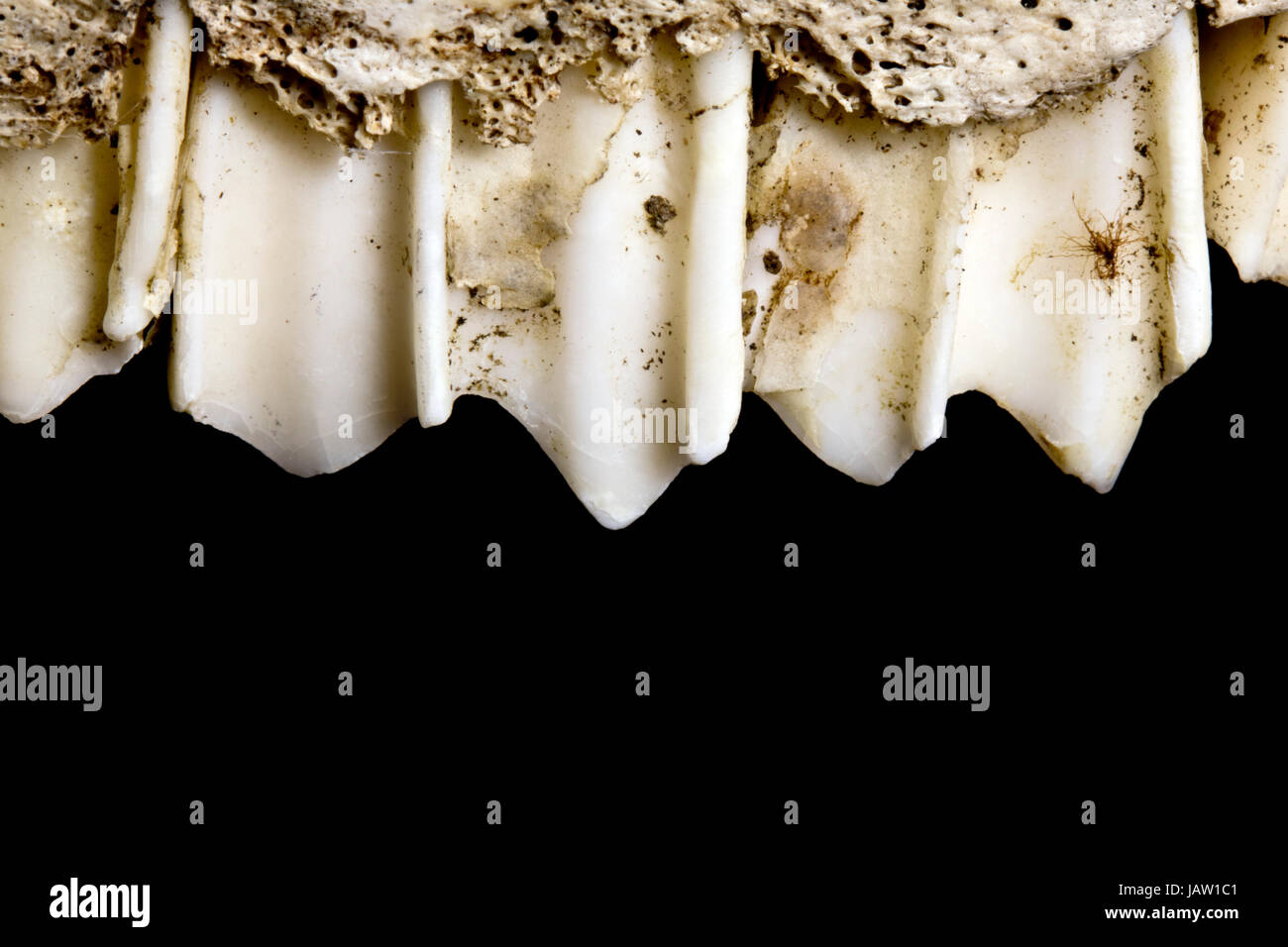 Close Up of A Herbivore Teeth and Jaw on Black Background - Stock Image