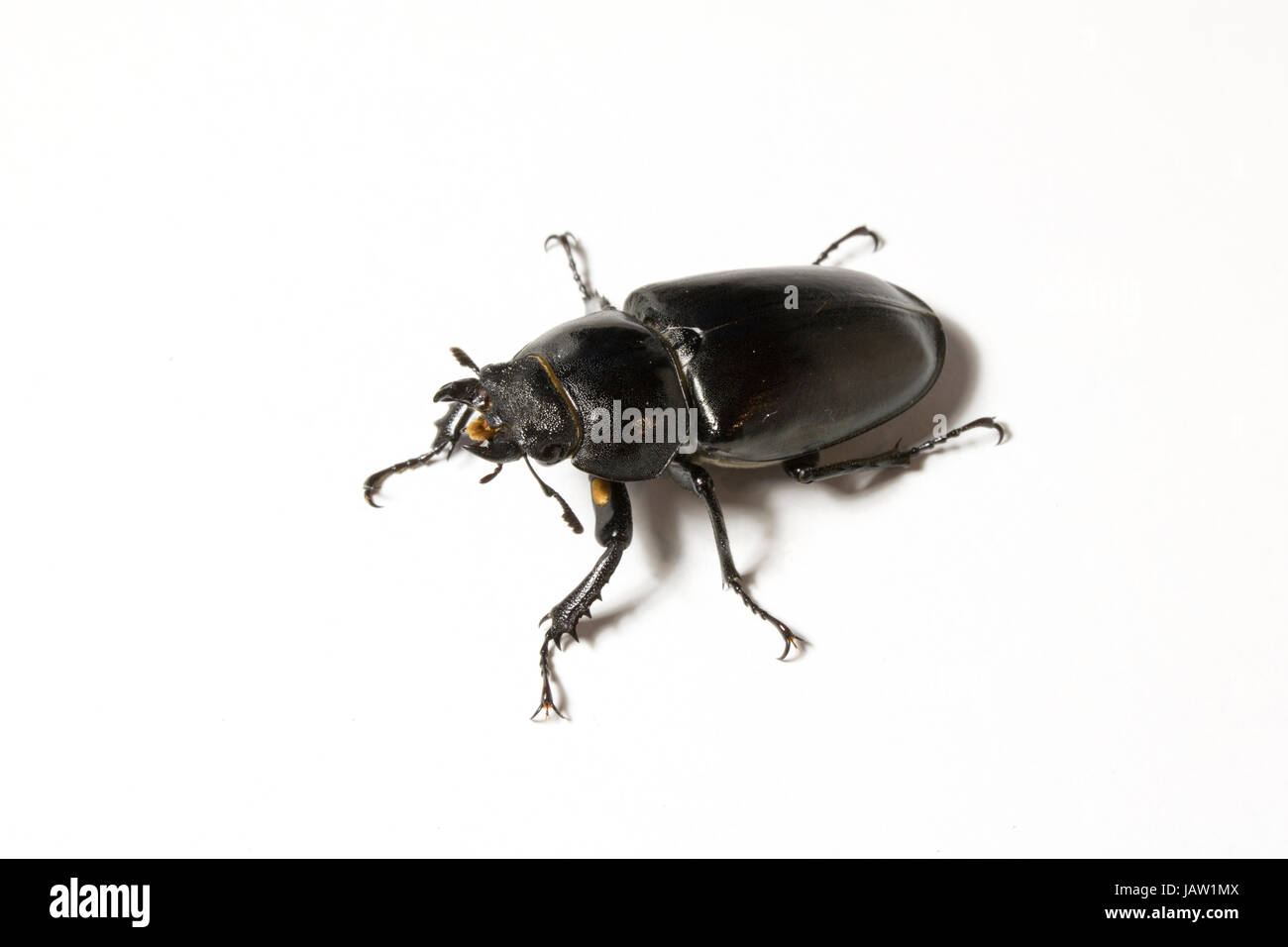 Close Up of a Female United Kingdom Stag Beetle - Stock Image