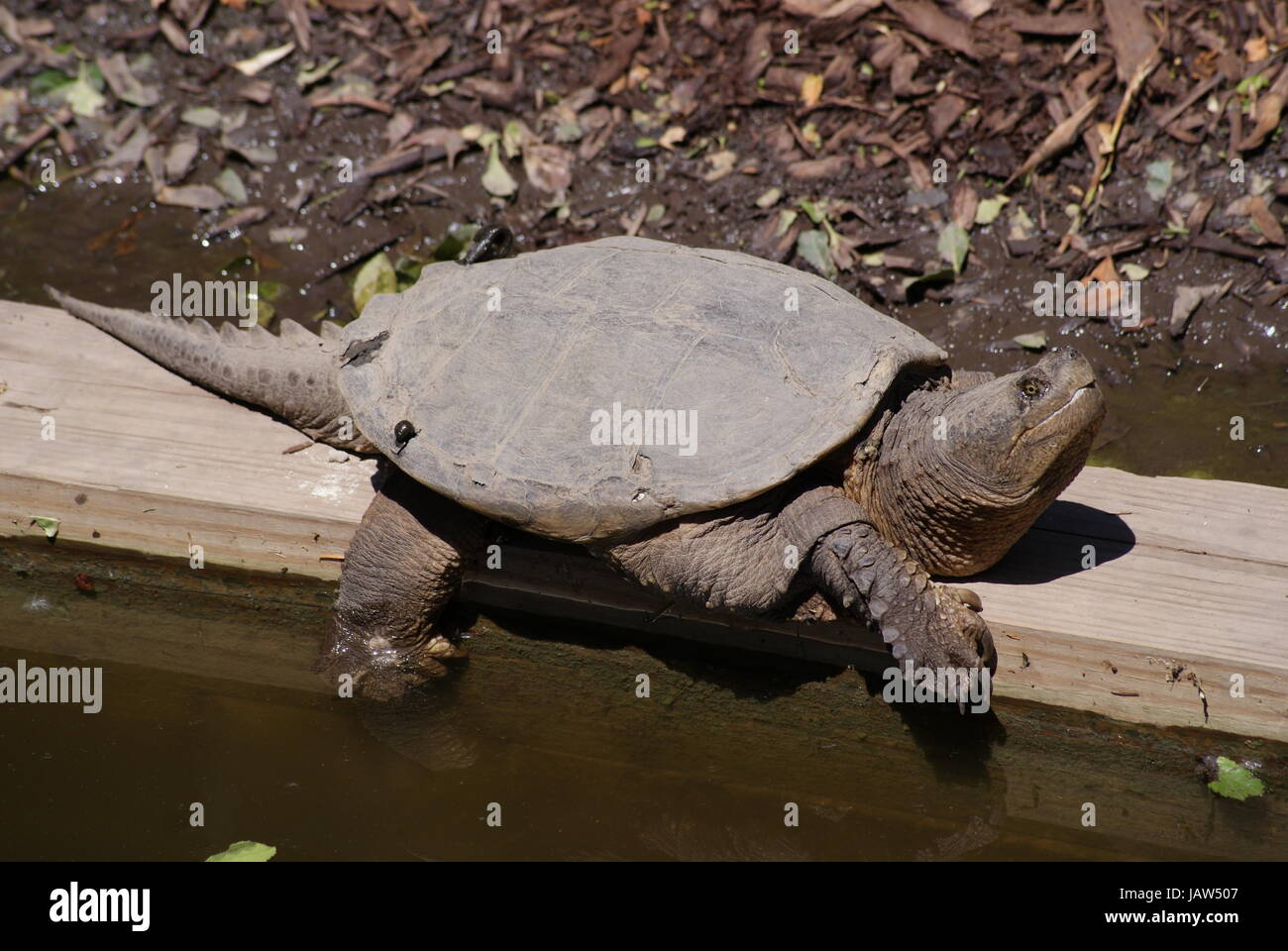 Large snapping turtle baking in the sunshine on the edge of the water. Stock Photo
