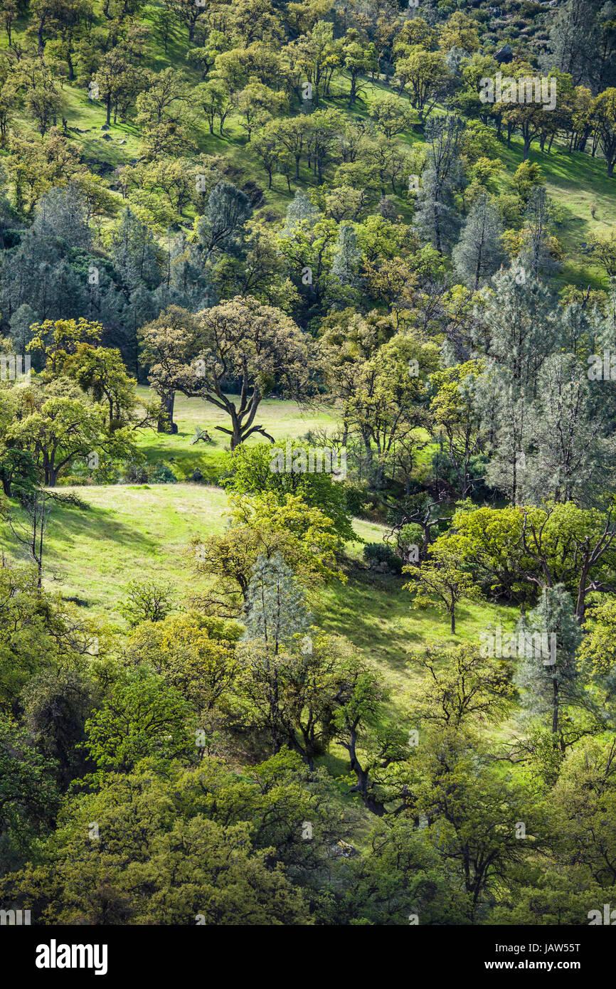 valley of mixed oak and conifer trees, Figueroa Mountain, near Santa Barbara, California - Stock Image