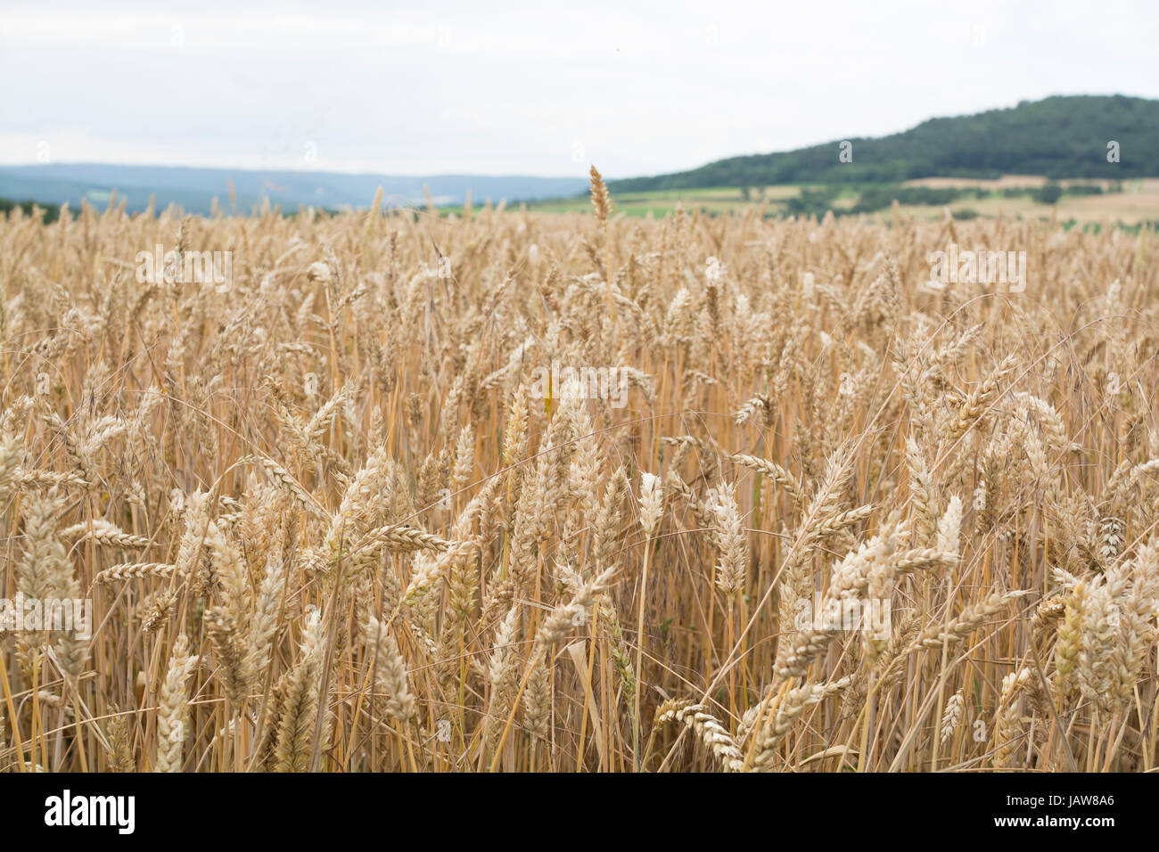 Wheat field in Bavaria, Germany - golden time approaches - Stock Image