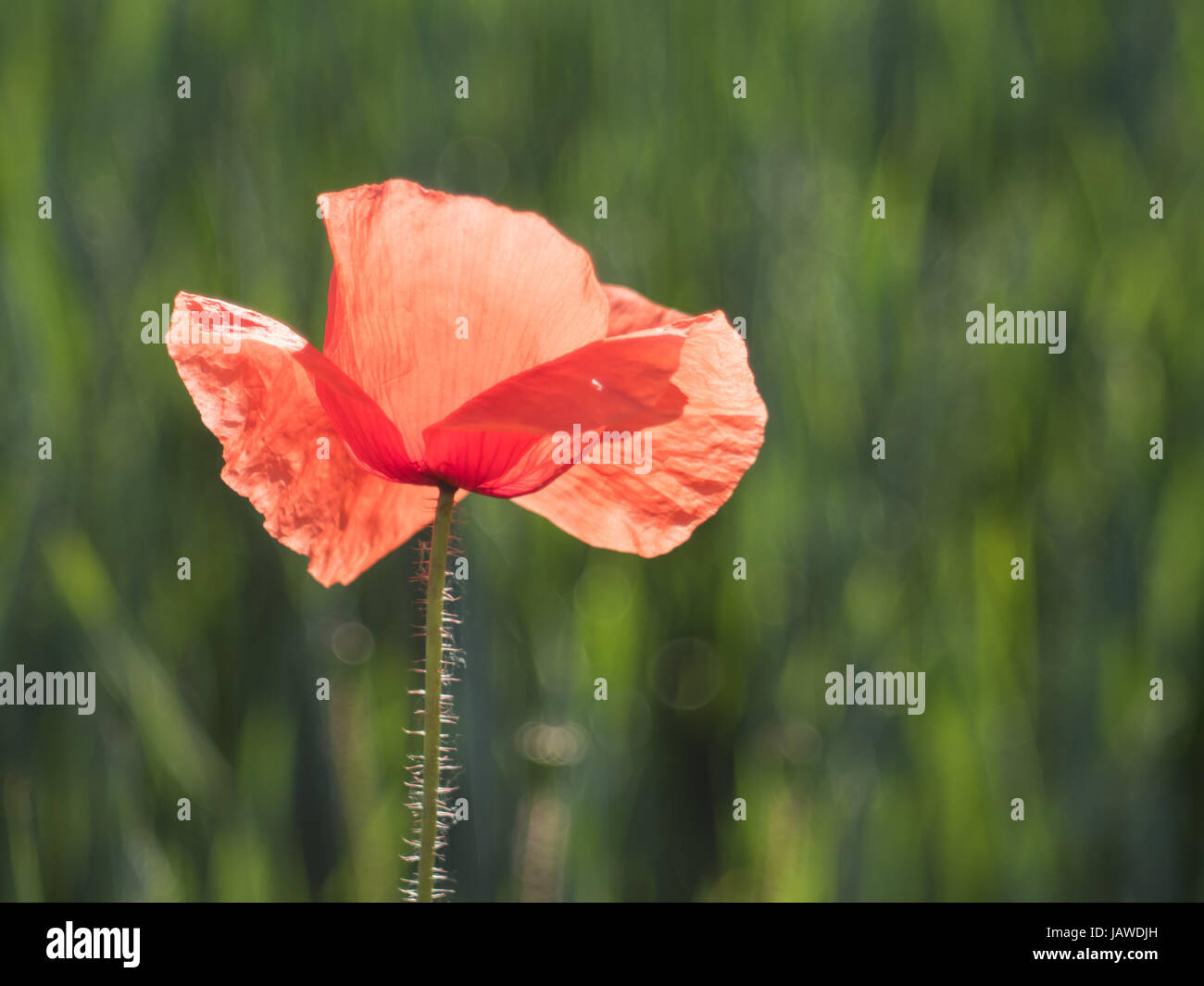 red poppy before a cereal field at noon - Stock Image