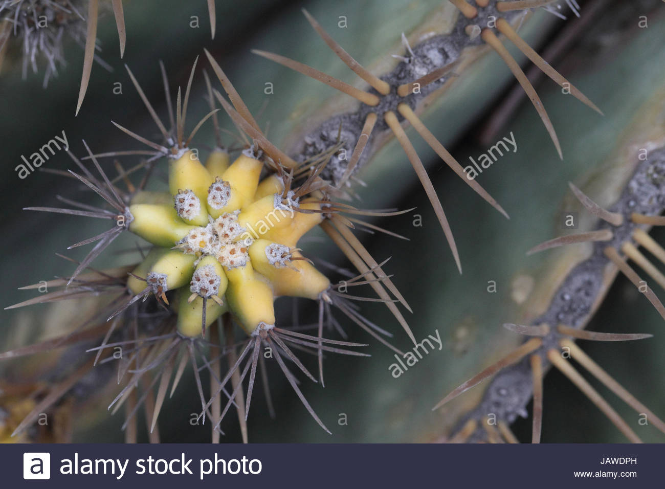 Bud and spines of a cactus species in a park. - Stock Image