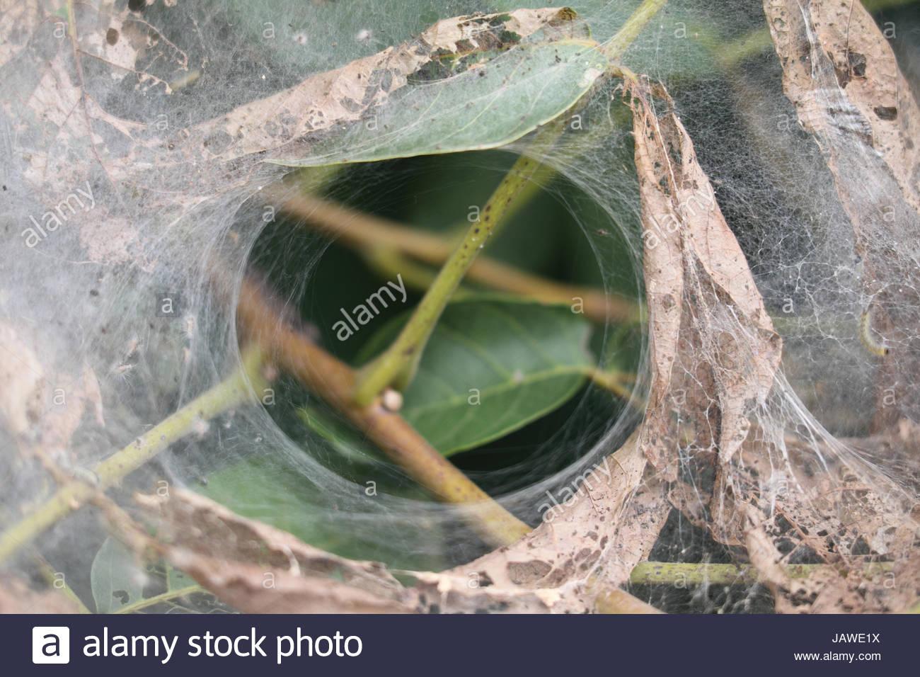 Fall webworm, Hyphantria cunea, create a webbed nests in a walnut tree, Juglans regia. - Stock Image