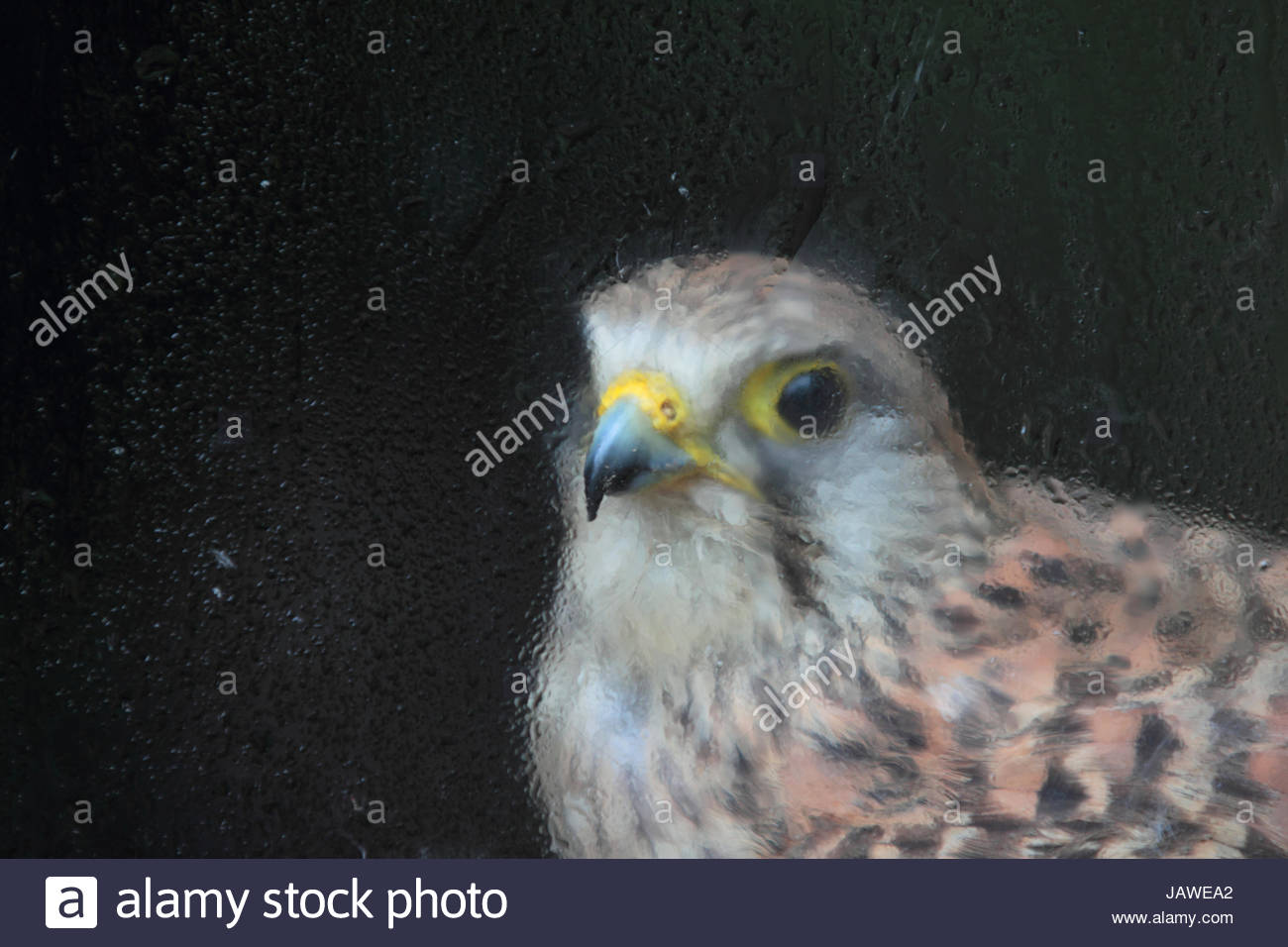 A female European kestrel, Falco tinnunculus, rescued after an electric shock. - Stock Image