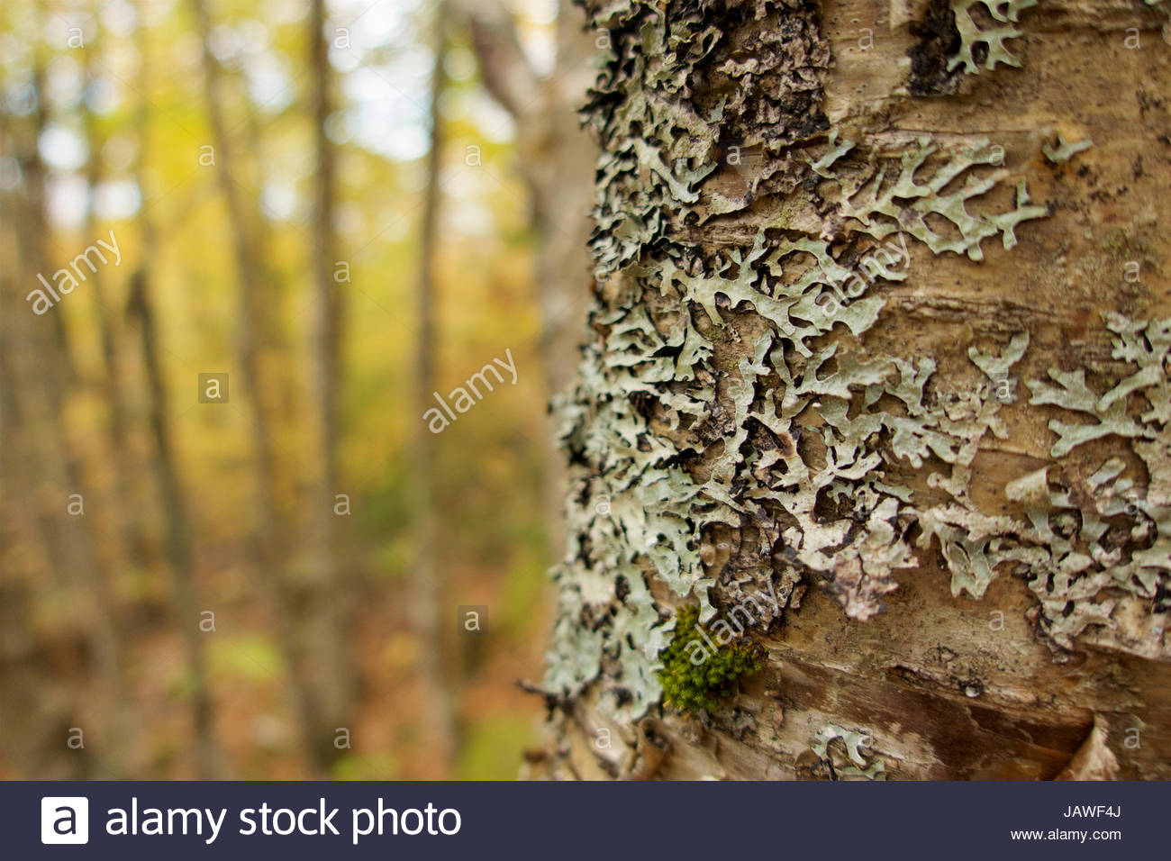 Lichens on tree trunk with fall foliage in the background. - Stock Image