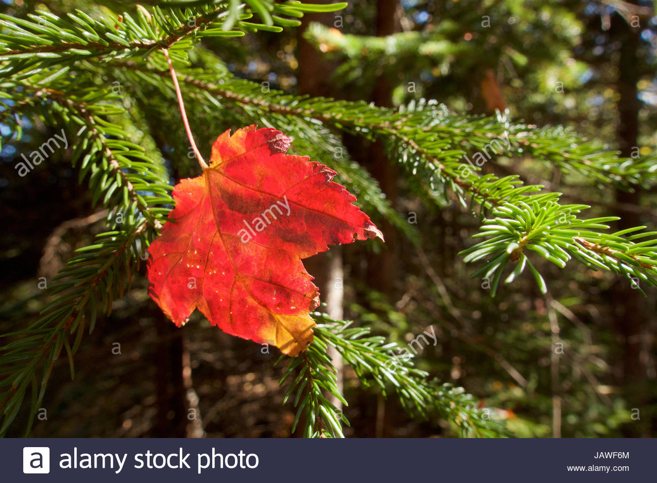A red maple leaf rests on a conifer bow. Stock Photo