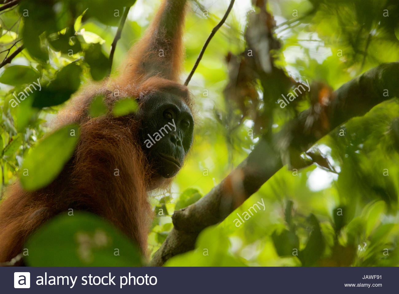 A female orangutan, Pongo pygmaeus wurmbii, rests in a tree in Gunung Palung National Park. - Stock Image