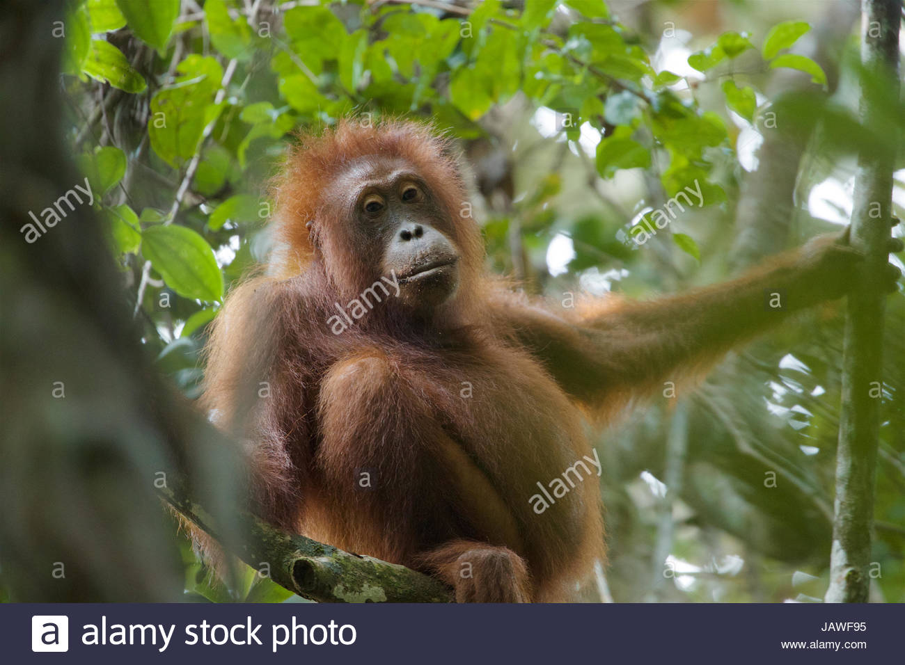 A young Bornean orangutan, Pongo pygmaeus wurmbii, rests in a tree in Gunung Palung National Park. - Stock Image