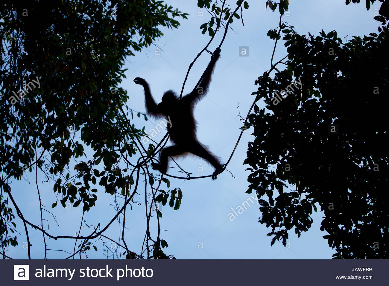 Adult female Bornean orangutan, Pongo pygmaeus wurmbii, with an injured left foot, swings from the trees in Gunung - Stock Image