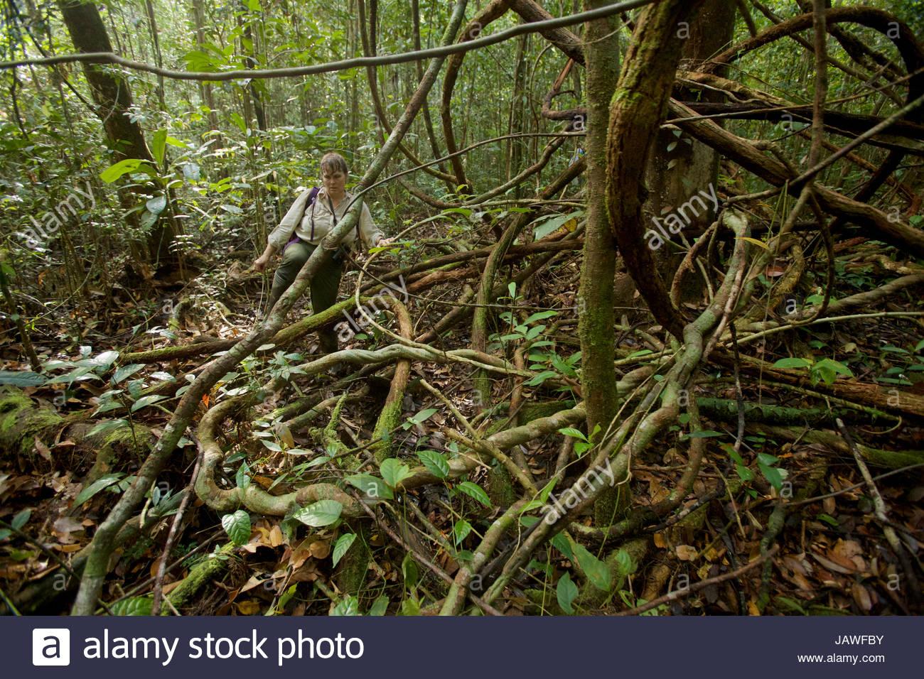 Orangutan researcher bushwhacking through freshwater swamp forest while following a wild orangutan. - Stock Image