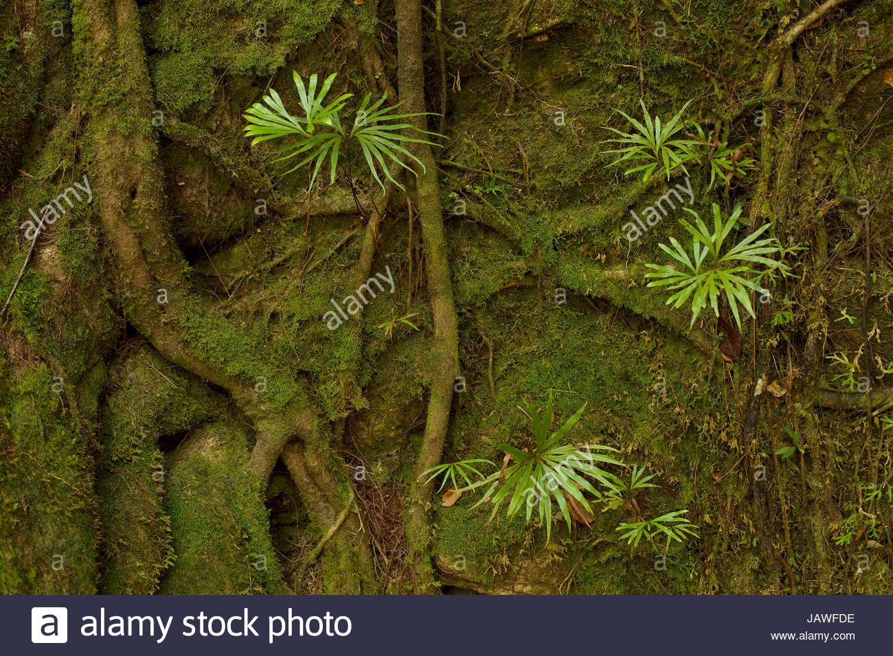 Ferns on a moss covered cliff in Gunung Palung National Park. - Stock Image
