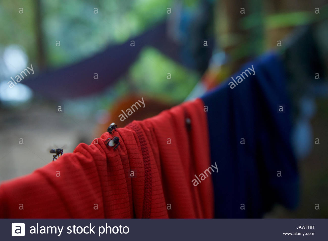 Insects land on clothes hanging in a camp in Gunung Palung National Park's pristine rain forest interior. - Stock Image