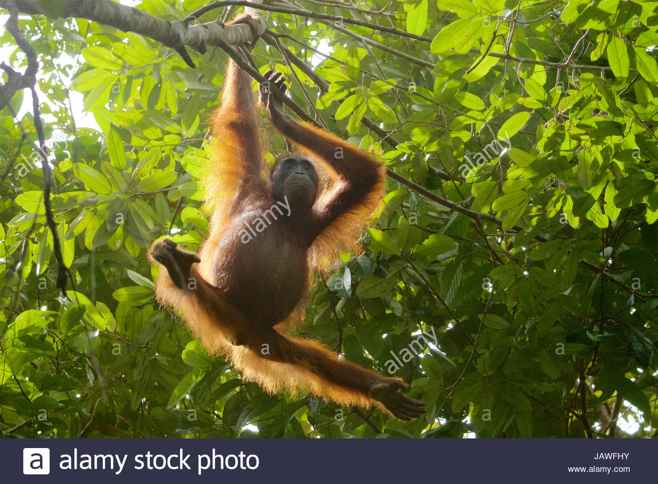 An adult female orangutan, Pongo pygmaeus wurmbii, hangs from a tree in Gunung Palung National Park. - Stock Image