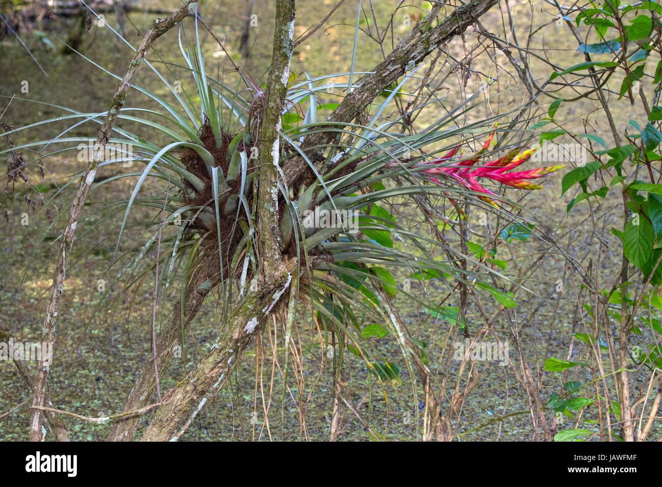 The Cardinal Airplant Tillandsia Fasciculata Is A Bromeliad