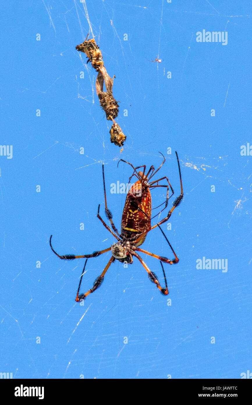 A par of mating golden silk spiders, Nephila clavipes. - Stock Image