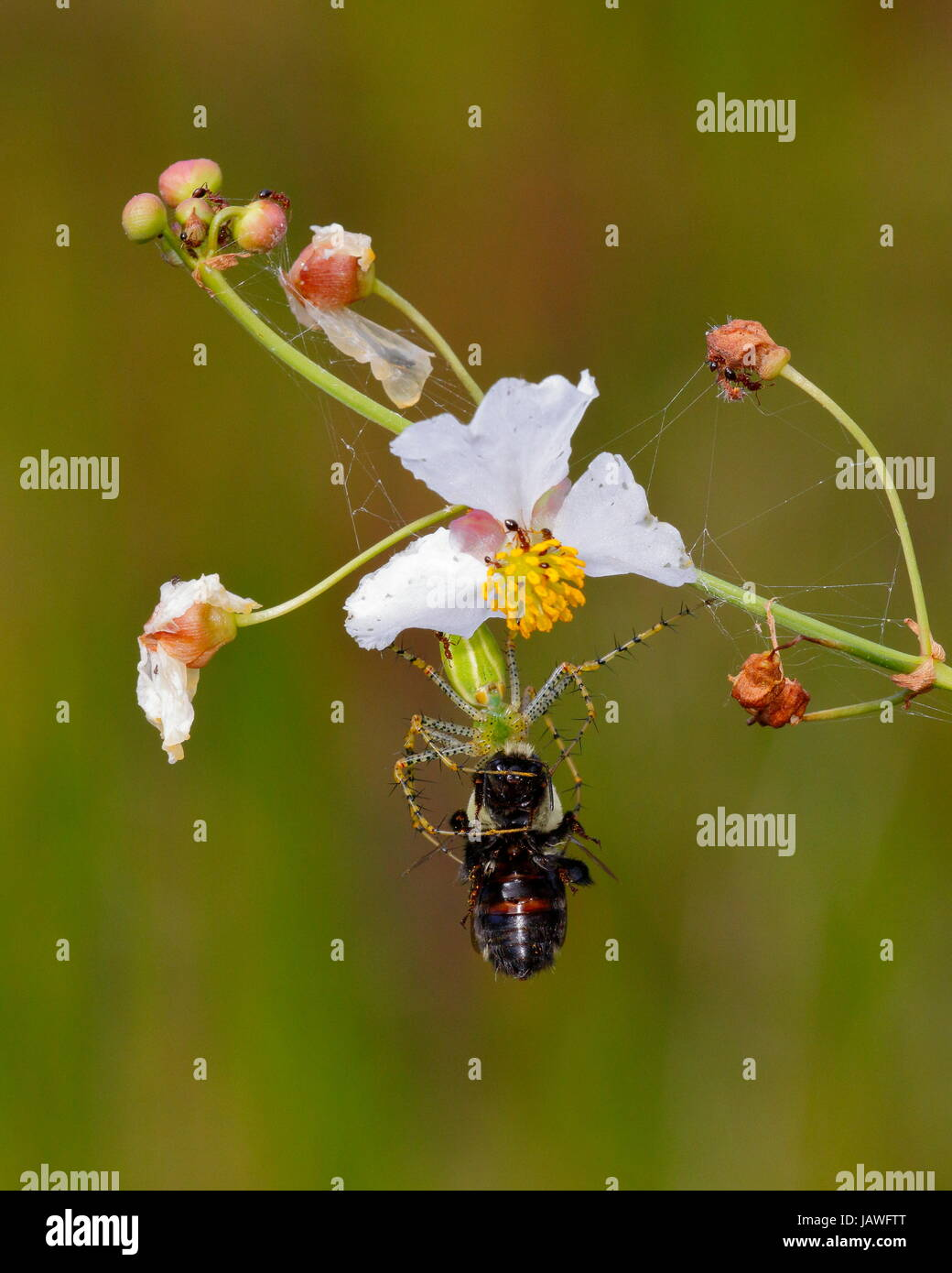 A green lynx spider, Peucetia viridans, preying on a bee. - Stock Image