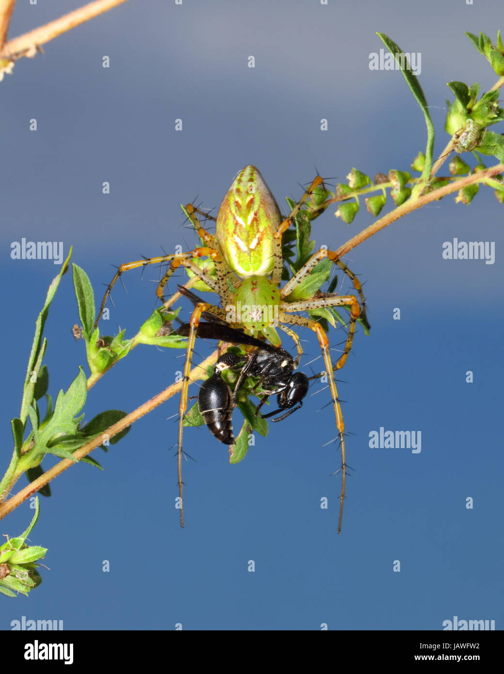 A green lynx spider, Peucetia viridans, preying on a wasp. - Stock Image