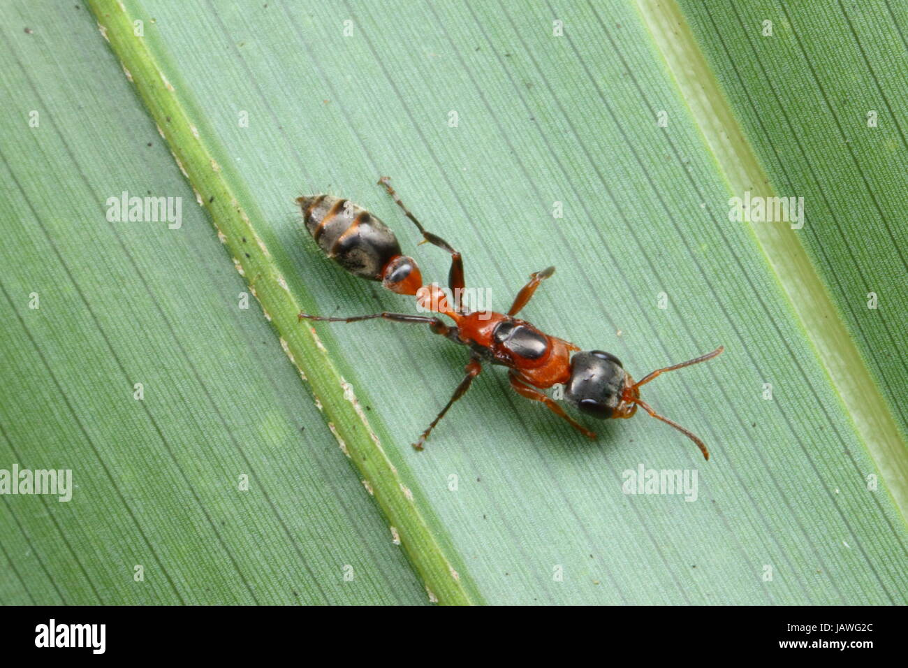 Elongate twig ants, Pseudomyrex gracilis, preys on live insects. - Stock Image