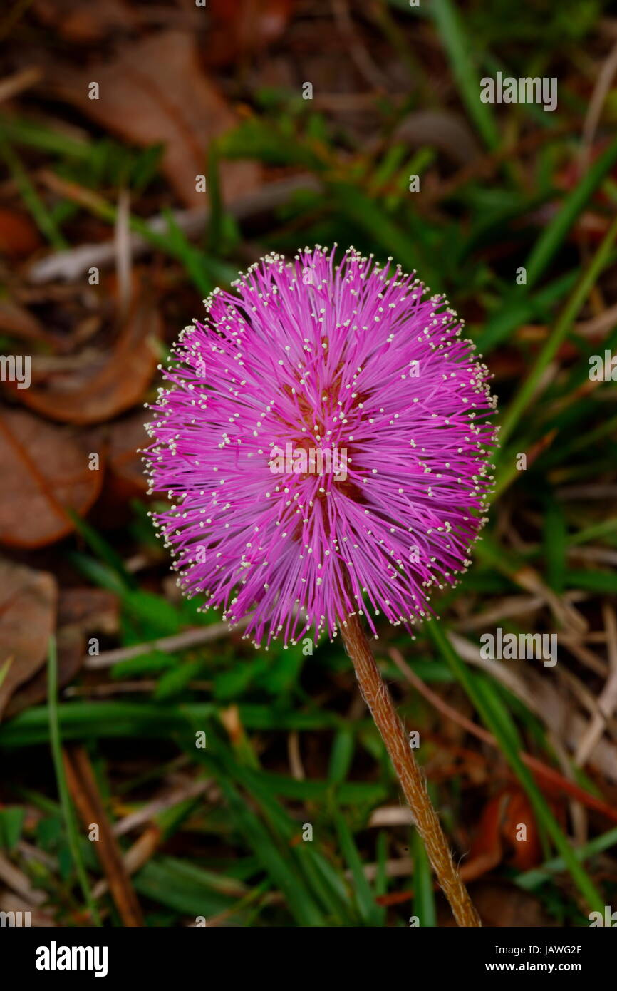 The sunshine mimosa, Mimosa strigillosa, has sensitive leaves and bracts that close when touched. - Stock Image