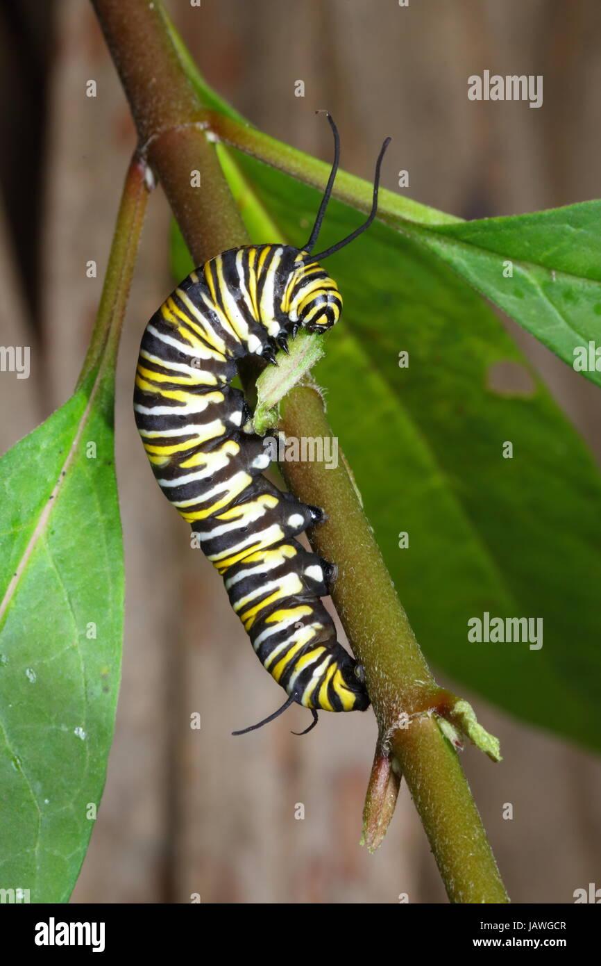 A monarch butterfly caterpillar, Danus plexippus, crawls on a plant stem. - Stock Image